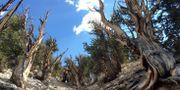 Bild från Great Basin. Scott Smith / TT NYHETSBYRÅN