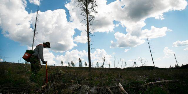 Skogsplanterare. Arkivbild. Johan Gunséus / TT / TT NYHETSBYRÅN