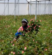 Kvinna plockar rosor på en odling i Kenya. Patrick Ngugi / TT NYHETSBYRÅN
