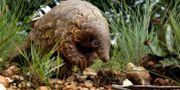 Myrkotten hör till de arter som används i naturläkemedel Themba Hadebe / TT NYHETSBYRÅN/ NTB Scanpix