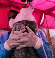 Frivillig arbetar med en syrgastub på en mottagning i utkanten av New Dehli. Amit Sharma / TT NYHETSBYRÅN