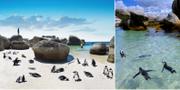 Boulders Beach ligger i staden Simonstown, en halvtimme söder om Kapstaden. Flickr / Istock