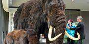 Arkivbild från utställning om mammutar. Jens Meyer / TT / NTB Scanpix